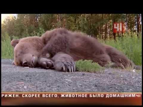 Сбили медведя на трассе в Екатеринбурге