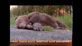 Сбили медведя на трассе в Екатеринбурге(, 2016-06-16T15:53:00.000Z)