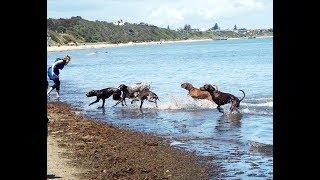 GSP Australia Gathering  - Mentone Dog Beach October 2018