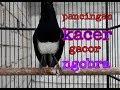 Pancingan Kacer Agar Rajin Bunyi Dan Ngobra Masteranburung  Mp3 - Mp4 Download