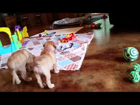 Dogue de Bodeaux Puppies 6 Weeks Old
