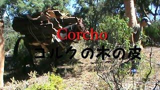 How to peel the skin of Cork tree アンダルシアのコルクの皮はこうやって剥がします。【Spain】【Andalucia】