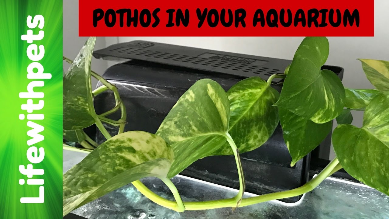 How To Use A Pothos Plant In Your Aquarium Youtube