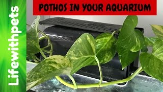 How to Use a Pothos Plant in your Aquarium.