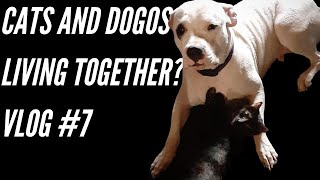 Cats Living With Dogos? Can it happen? (Vlog #7)