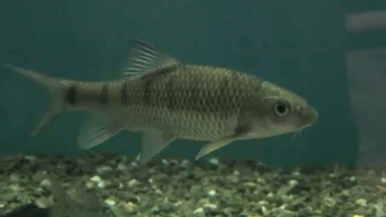 美麗的臺灣溪魚 - YouTube