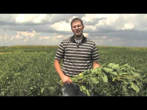 Estimating Soybean Yields - Simplified