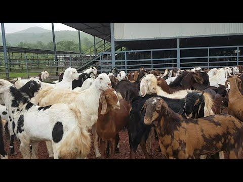 Green Valley Agro Goat Farm Ke Goats