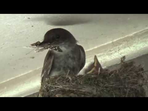Eastern Phoebe Nestlings 5-6 Days Old - Feeding And Removing Fecal Sacs, Mom Gets Mad At Dad