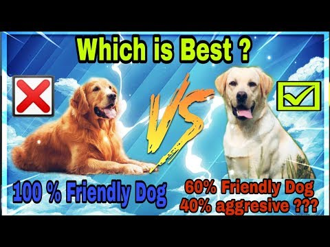 labrador Retriever  VS Golden Retriever | Which is Best for Family | Dogs biography