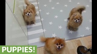 Funny Pomeranian dogs can't stop wagging their tails