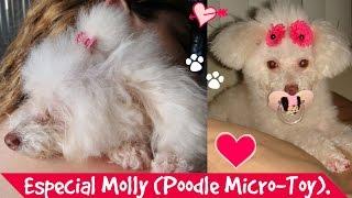 Especial Molly, Minha Poodle Micro-toy. | Lói Cúrcio