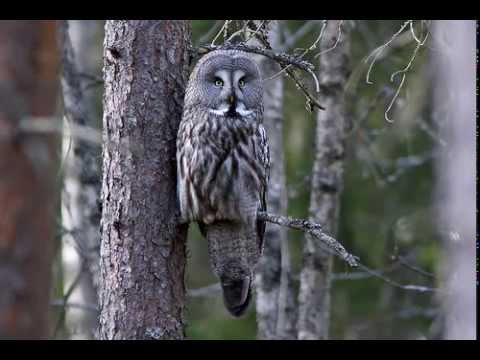 Strix nebulosa (Great grey owl) 1. Mating calls of male ...