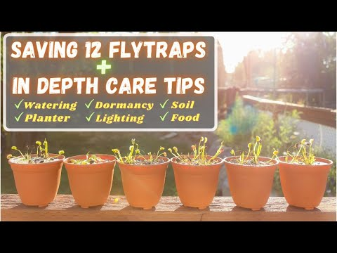 Download Stop Killing Your Venus Flytrap! Repotting -NEW METHOD & Beginner Care Tips Walmart & Lowes Flytraps