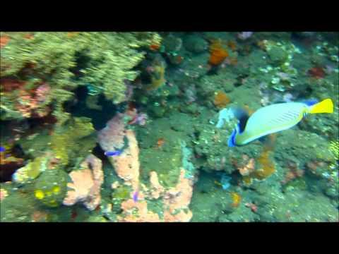 Kaiserfisch bzw. Angelfish (Pomacanthidae)