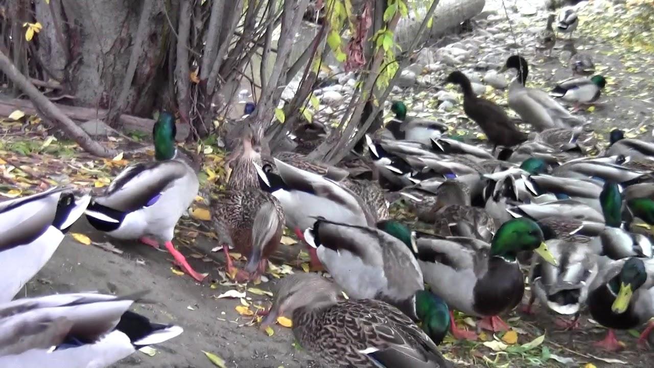 How to sex runner ducks