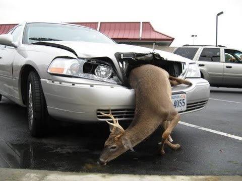 deer getting hit vs oh moose truck animals engine trucks deere runs nothing most accidents away ford prolly thread honey