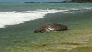 HONU Return While Eating at Laniakea / 食べながら海へ帰るホヌ