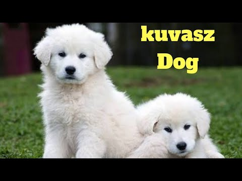 Amazing Facts on Kuvasz | In Hindi | Dog Facts | Animal Channel Hindi
