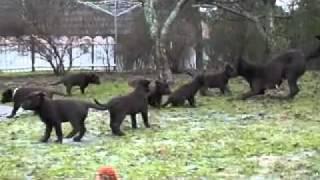 Щенки австралийской келпи(, 2011-12-11T14:13:47.000Z)
