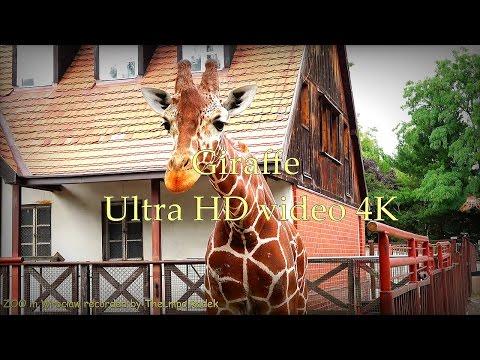 Giraffe - Żyrafa - ZOO in Wrocław - Ultra HD video 4K