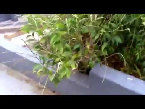 Guinea Hen Weed from Jamacia benefits | Health care | Cancer fighting | better health | UK Health