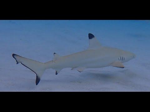 requin citron et pointe noir