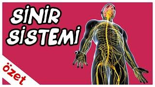 Sinir Sistemi Özet / AYT Biyoloji