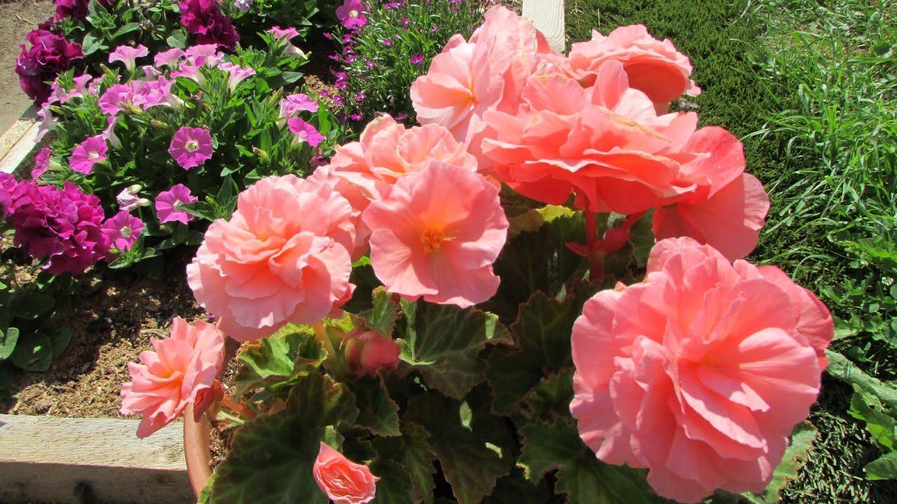 Клубневая бегония - выращивание от посева семян до цветения