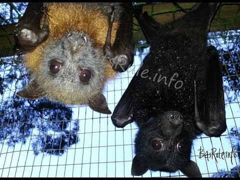 REHAB 2014 VIDEO Megabat, Flying fox, Fruit bat, Bats N Wildlife - Cover