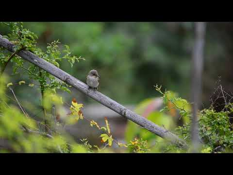 Spotted Flycatcher catching insect - Nikon D800 - Spain 2017