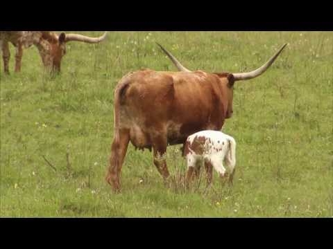 Cattle Ranching - America's Heartland: Episode 917