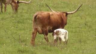Cattle Ranching - America
