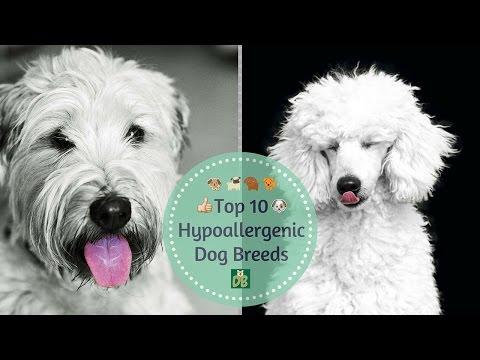 Top 10 Hypoallergenic Dog Breeds