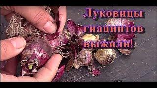 Гиацинты. Осенняя посадка луковиц гиацинта подаренных весной! Они выжили!