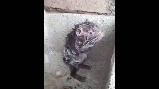 Video: Captan un ratón que 'se ducha' como si fuera un humano