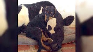 Abandoned Puppy And Veal Calf Form Inseparable Bond And Overcome Their Sad Pasts