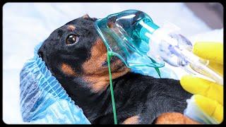 Last Day on Earth! Cute & funny dachshund dog video!