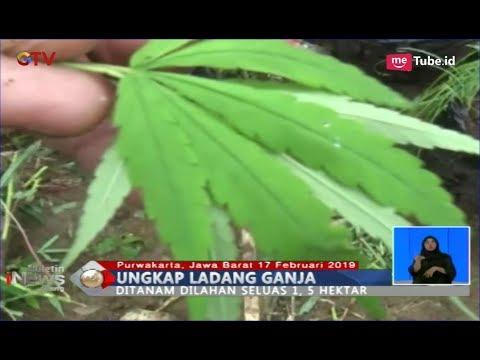 Polisi Gabungan Ungkap Ladang Ganja di Lahan Perhutani, Pinggir Waduk Jatiluhur - BIS 18/02