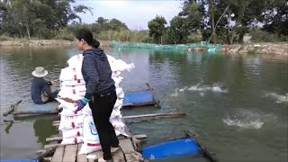 Pond feeding of snakehead using extruded feed in Vietnam