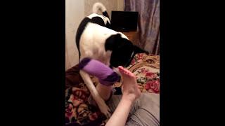 Собака раздевает свою хозяйку