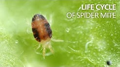 Life cycle of spider mite