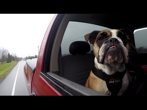 Do Dog Harnesses Keep Your Pet Safe In A Car Crash? (CBC Marketplace)