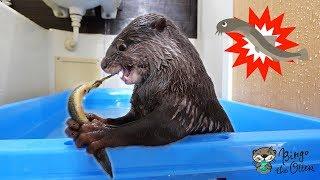 【閲覧注意】カワウソのビンゴが初めてのどじょうで野生化していく(Otter Bingo who couldn