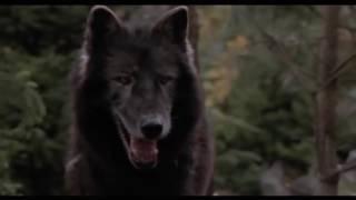 Собака против волка