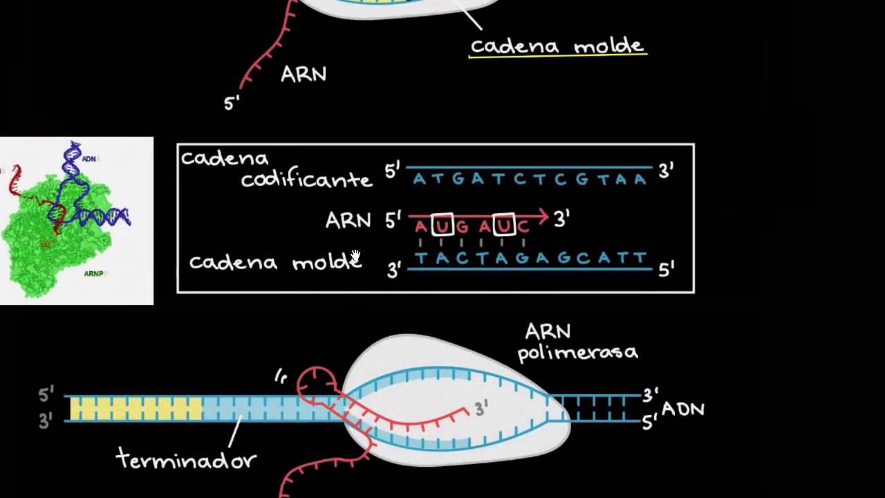 Transcripción Y Procesamiento Del Arnm Biología Khan Academy En Español