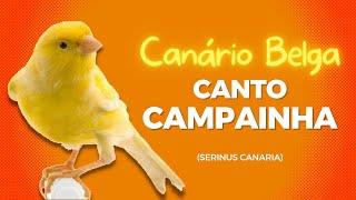 Canário Belga - Canto Campainha (serinus canaria) - Qualidade de Áudio / Genética Campeã