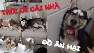 Đại Ngáo Husky | Ngáo ăn hại chỉ có phá nhà là giỏi | Yêu Pets