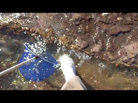潮溜まりの小魚掬い 裏技紹介 足で魚を追い込む