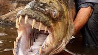 Video National Geographic Monster Quest Giant Killer Fish Documentary download MP3, 3GP, MP4, WEBM, AVI, FLV November 2018